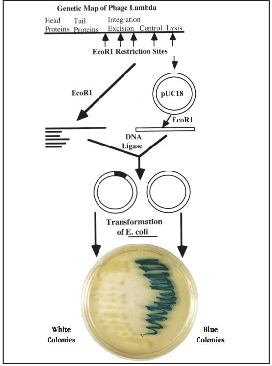 Genetic Map of Phage Lambda
